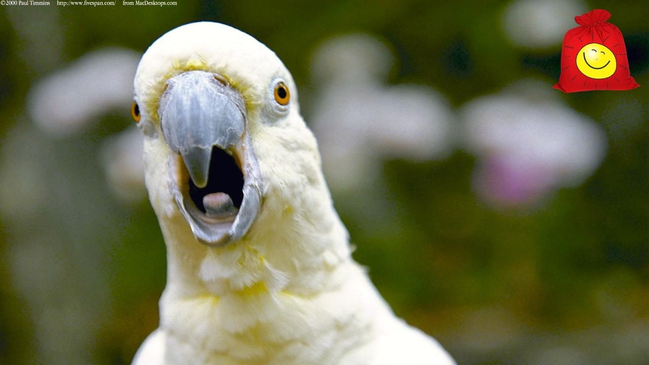 Реакция попугая на людей. Влюблённые попугаи целуются