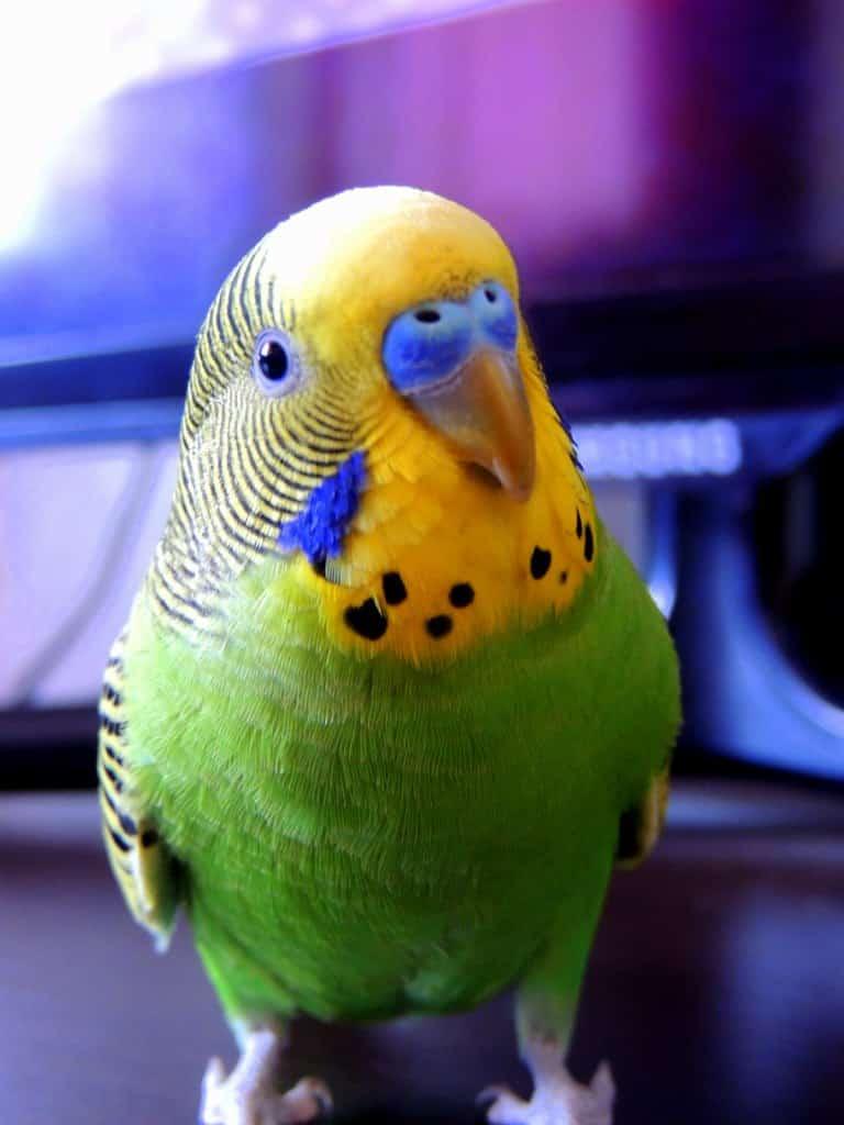 Как ухаживать за волнистыми попугайчиками