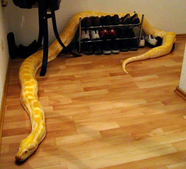 Содержание змеи в домашних условиях