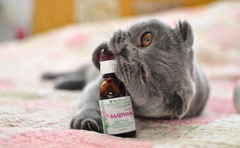 Любовь кота к валерьянке