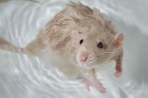 Уход за крысой