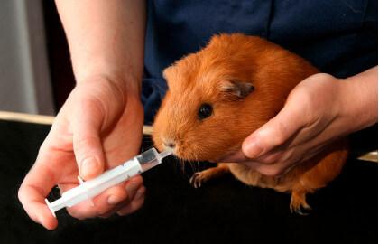Как дать грызуну лекарство