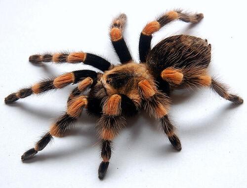 Содержание пауков-птицеедов