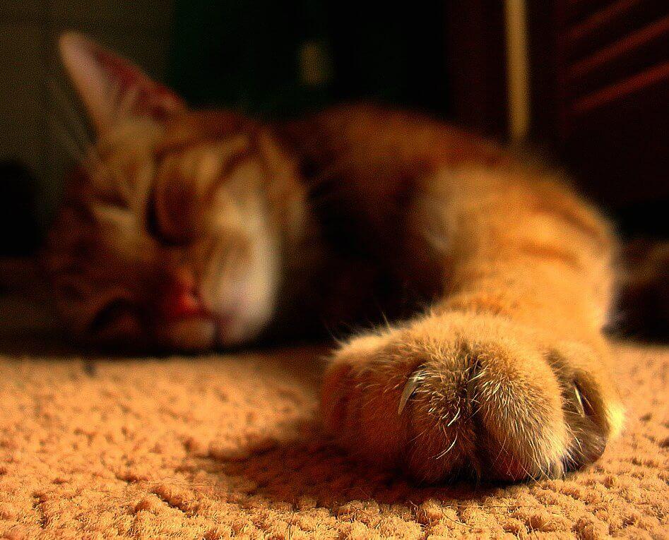 Стригут ли кошкам когти