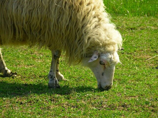 Чем кормить овцу