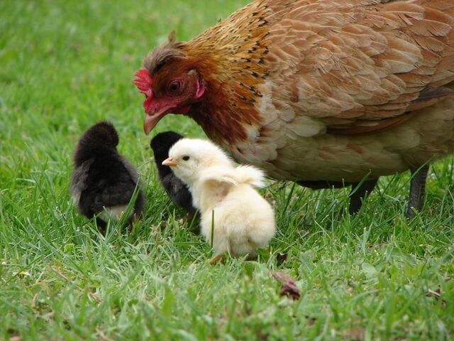 Чем кормить курицу