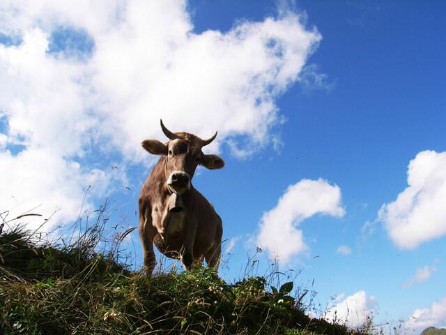 Чем кормить корову