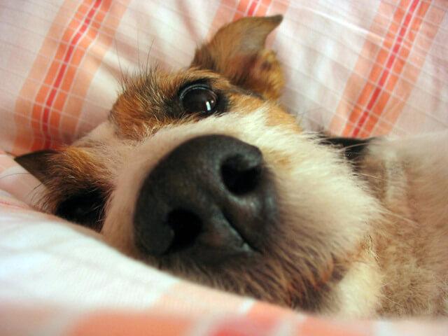 Спящая в ногах собака