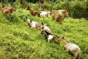 Чем кормить козу