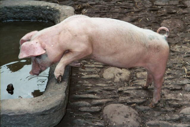 Чем кормить свинью