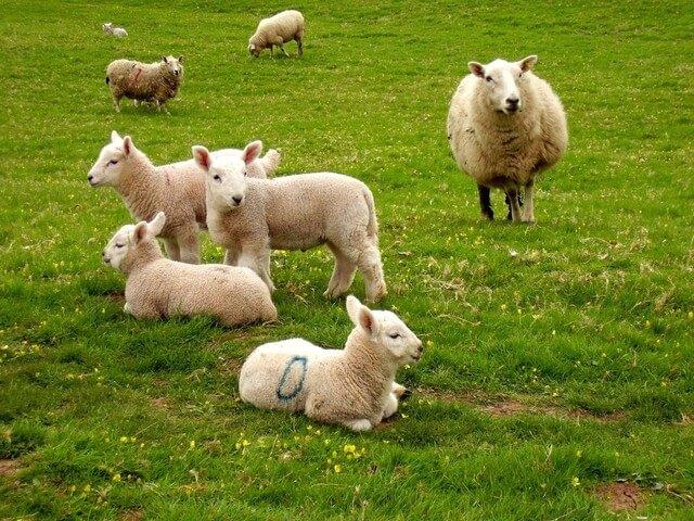 Как выбрать овцу