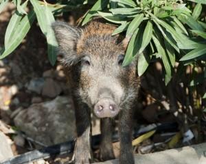 Как выбрать свинью