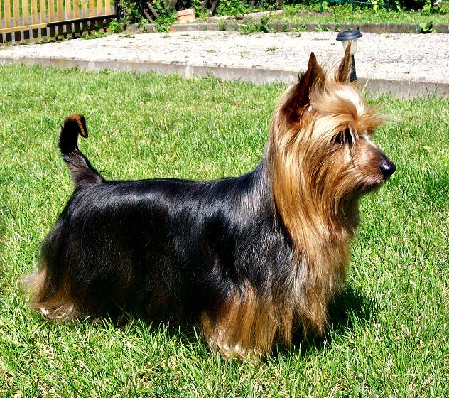 avstralijskij-terer-australian-terrier