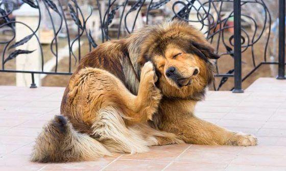 Почему собака постоянно чешется?
