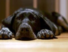 Вирус чумки у собак