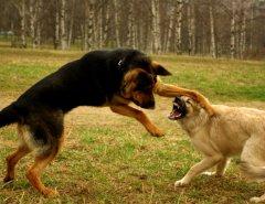 Собака увлекается игрой и это перерастает в драку