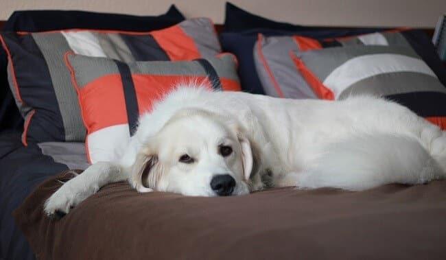 Собака лежит на вашей кровати