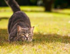 Как охотятся кошки?