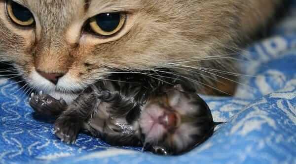 Роды у кошки