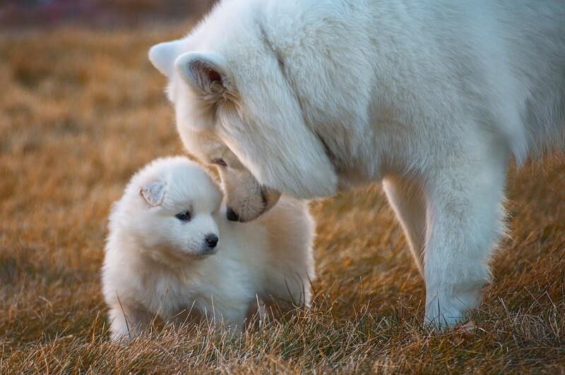 Старшая собака треплет щенка, а он визжит