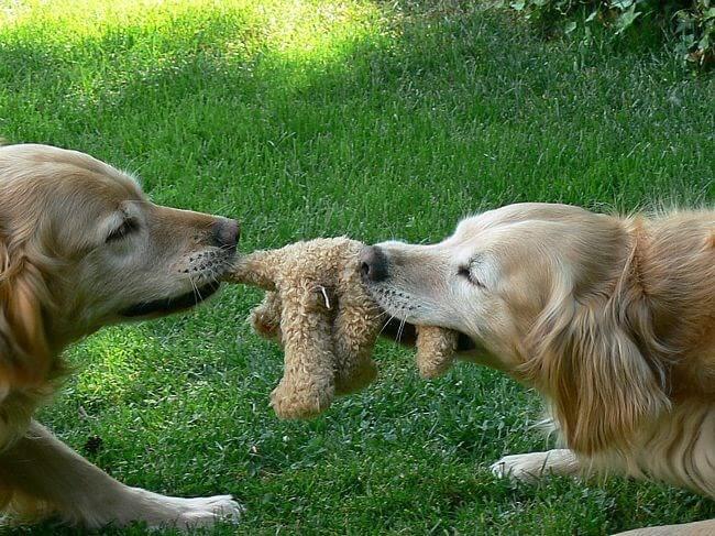 Собака отнимает игрушки у другой собаки