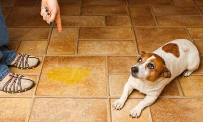 Уже обученная собака мочится в доме