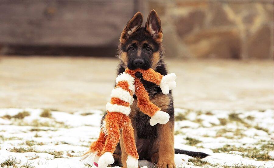 Собака агрессивно играет с игрушками