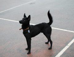 Значение хвоста для собаки