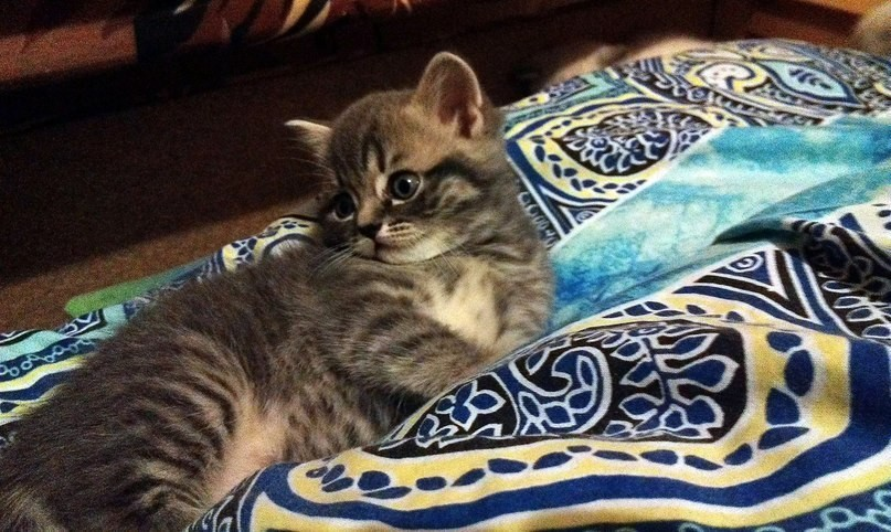 Шотландская кошка скоттиш страйт фото