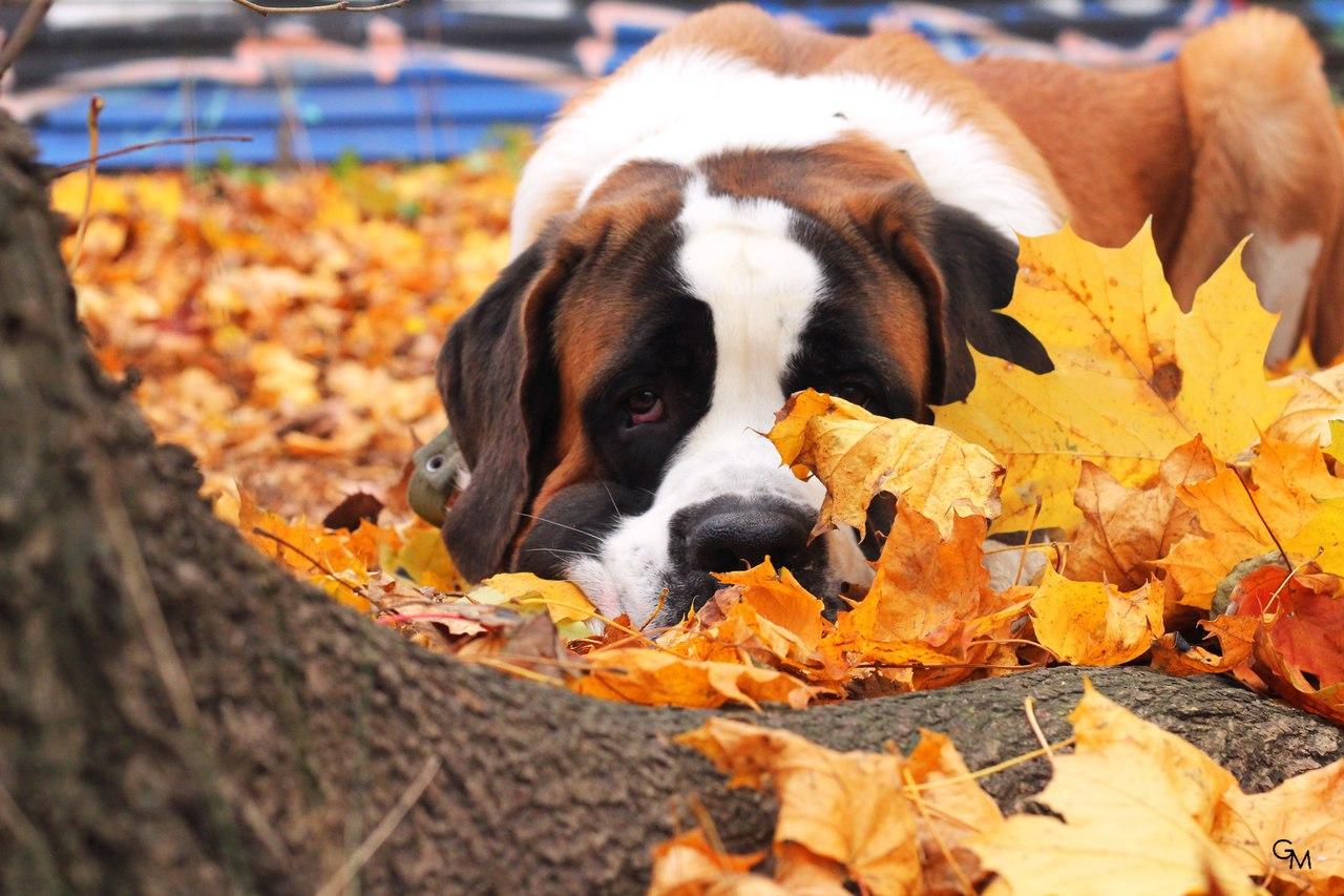 Сенбернар фото собаки