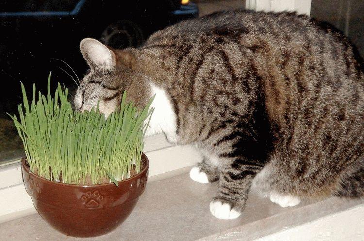 Трава для домашних кошек