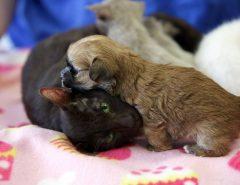 Может ли кошка родить щенка?