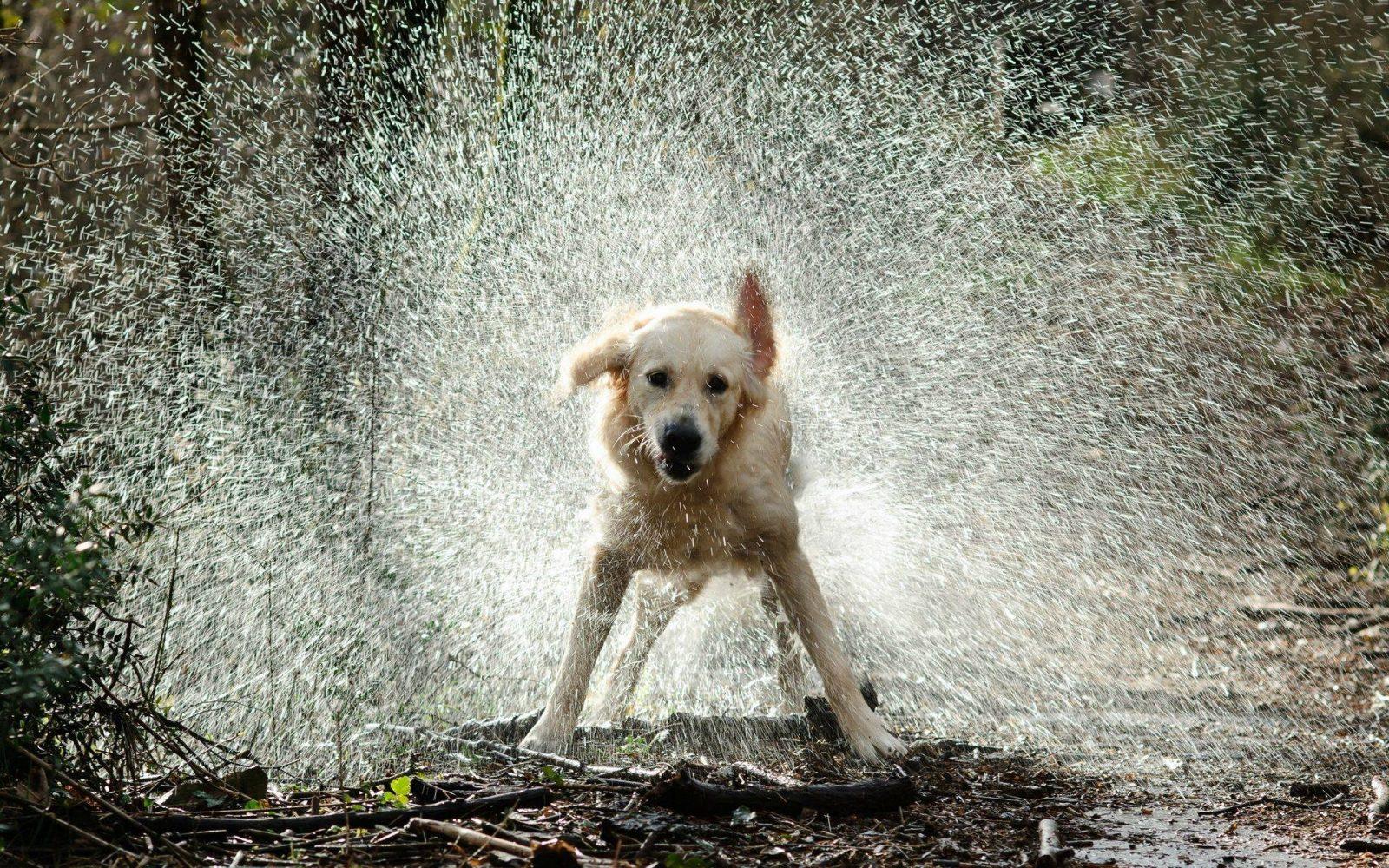 Собака после прогулки под дождем