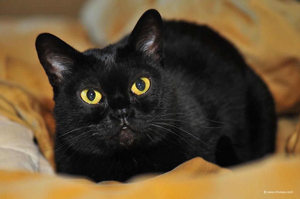 Бомбейские кошки описание