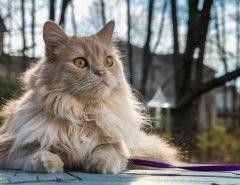 Персидская кошка описание