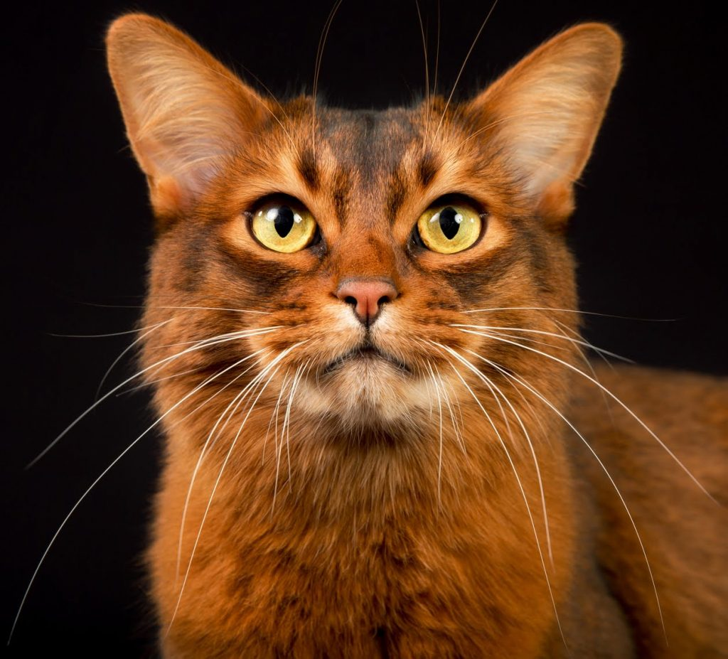 Сомалийская кошка описание
