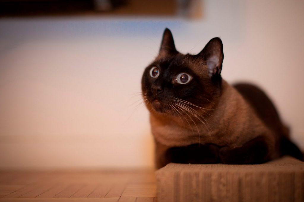 Йоркские кошки