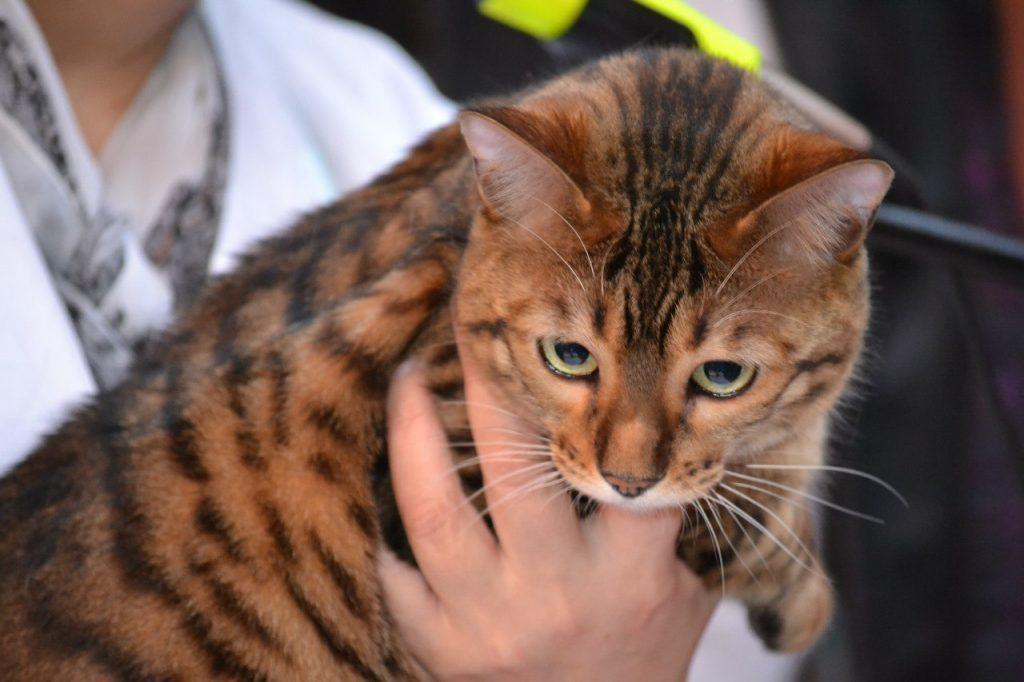 Тойгер кошка описание