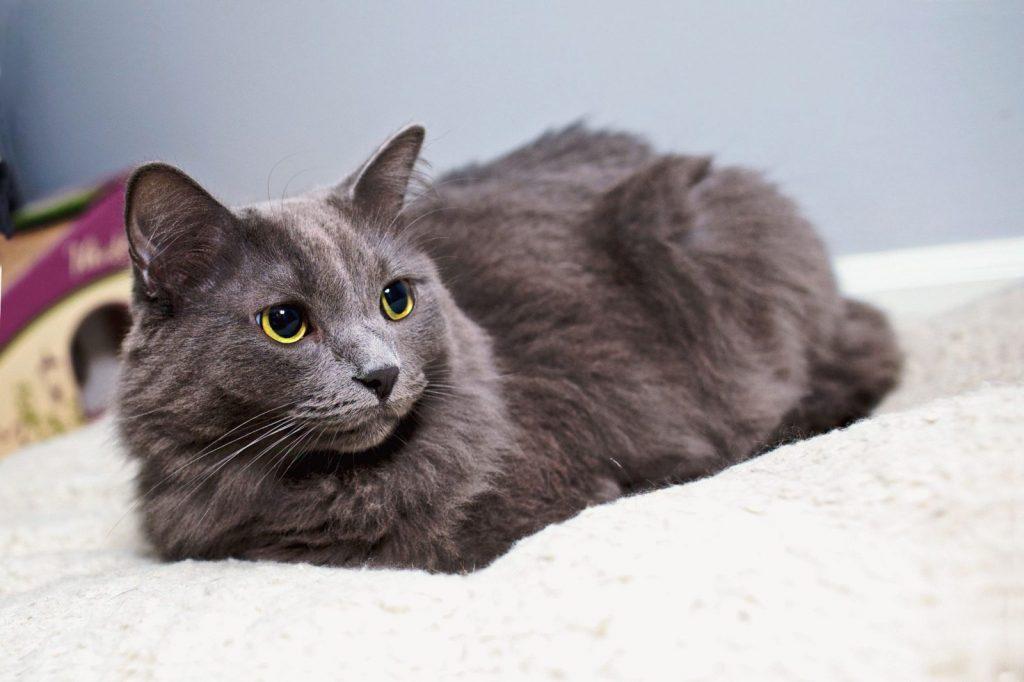 Нибелунги кошки описание
