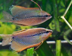 Жемчужный гурами рыба