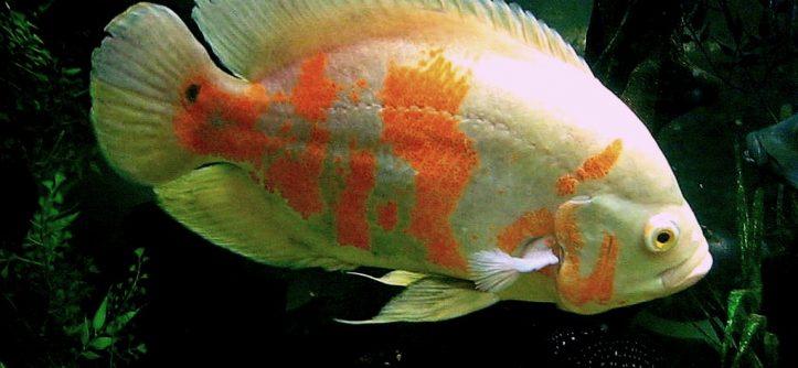 Астронотус рыба