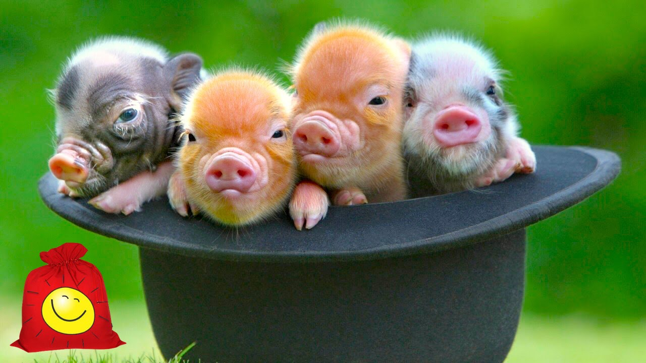 Мини свинки. Забавные поросята