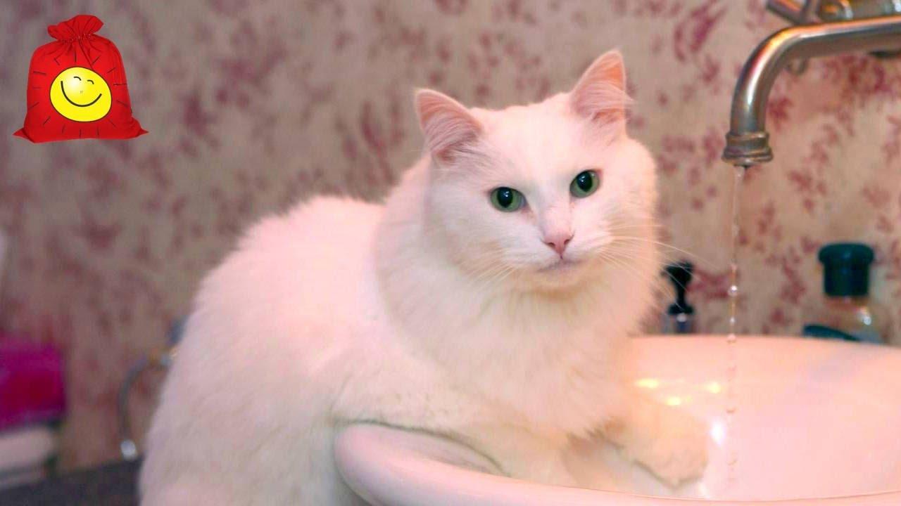 Белый кот ассенизатор. Забавный кот Маркиз