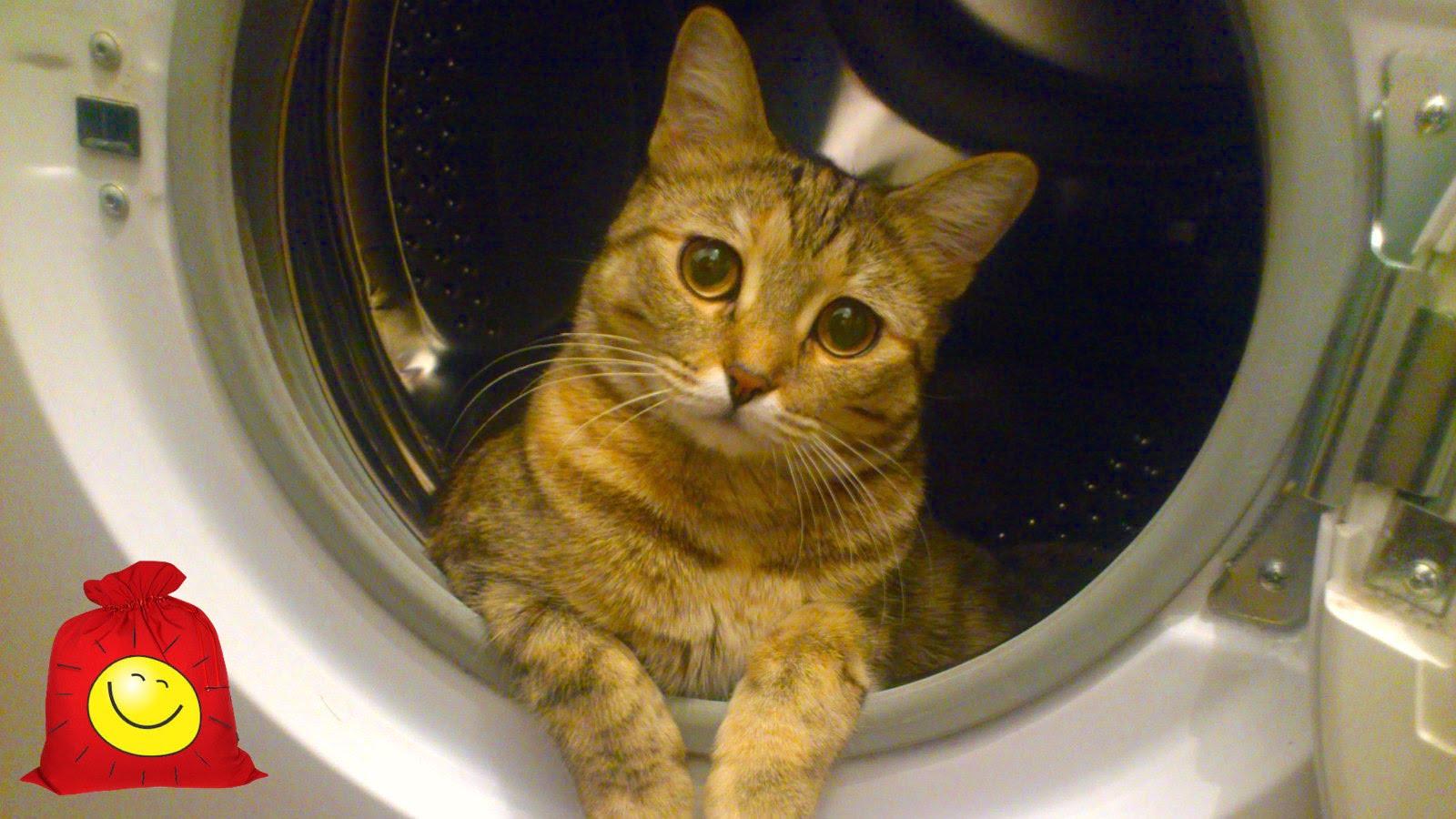 Кот и стиральная машина. Забавный кот вращает барабан